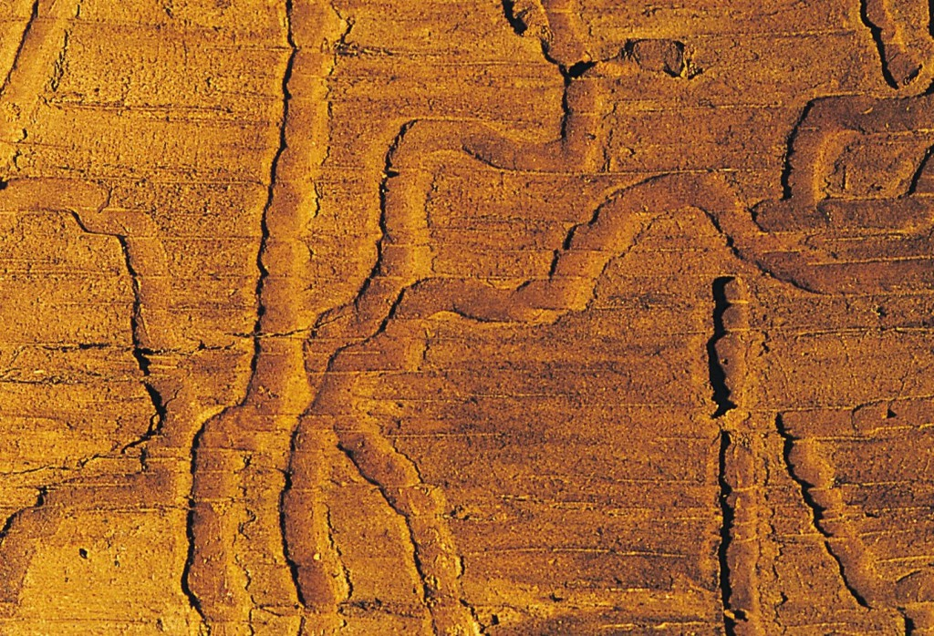 Figuur 5: de eikenprachtkever. Foto Wikipedia