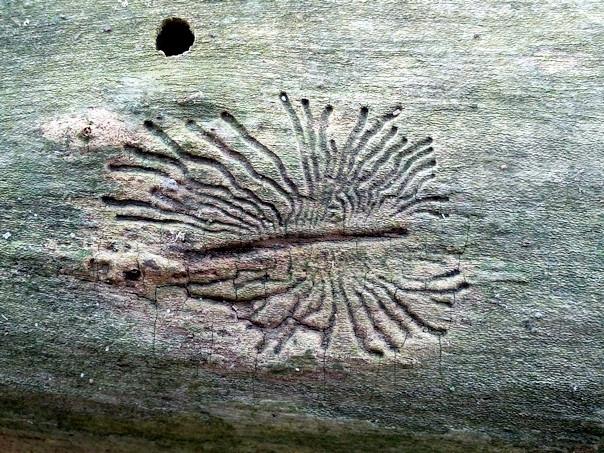 Figuur 2: De grote iepenspintkever, duidelijk te zien is de moedergang waar vanuit de larven zich weg eten.