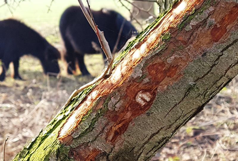 vraatsporen van paarden op een boomstam